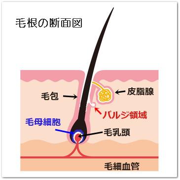 毛根の断面図